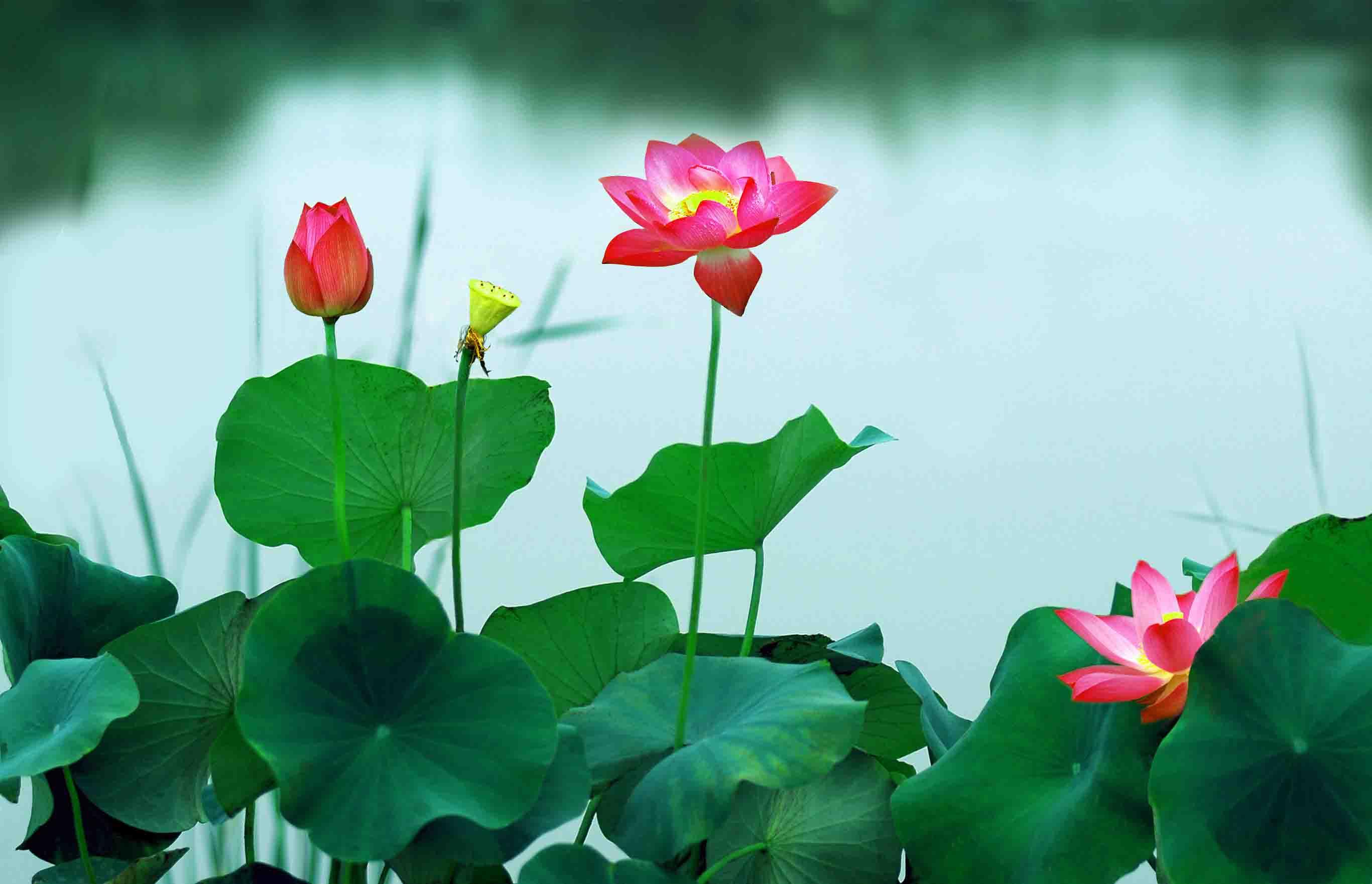 hoa sen than duoc tre hoa da cua phu nu viet_1